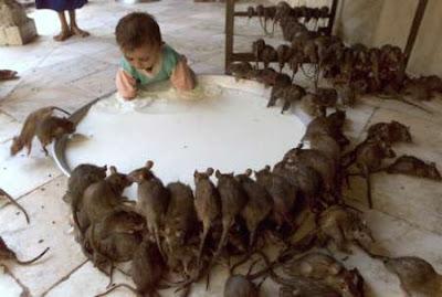 bébé cerné de rats