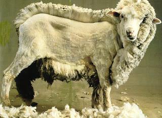 mouton demi tondu