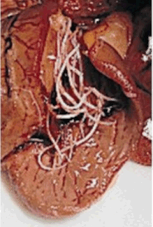 Gambar Cacing Jantung (Dirofilaria Immitis)