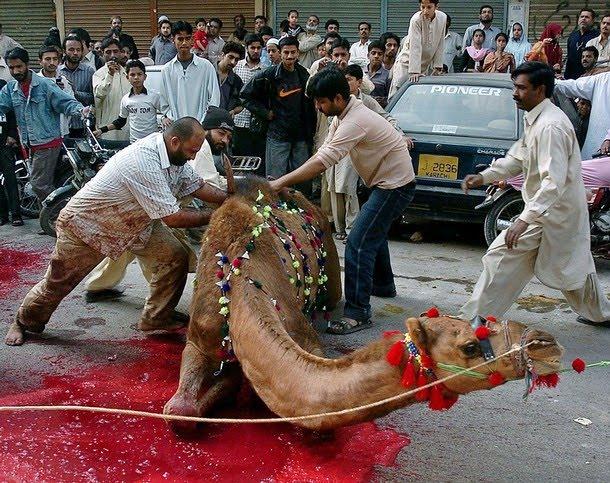 Cruel cattle's slaughtering - Naresh Kadyan