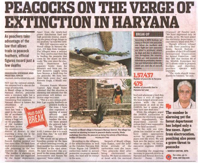 Peacock shocked in India : birds in danger -Kadyan