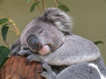 http://4.bp.blogspot.com/_7ZQPOJJ3ZQE/S6sQcAnSQnI/AAAAAAAAAZI/L6_lAmbiZBo/s400/koala+bear.jpg