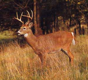 White Tail Deer Hunting