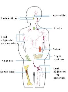 Bağışıklık sistemi organları