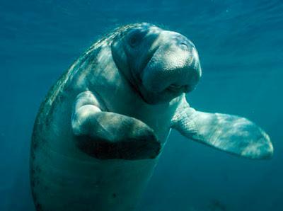 manatee waving 7 Binatang paling lambat di dunia