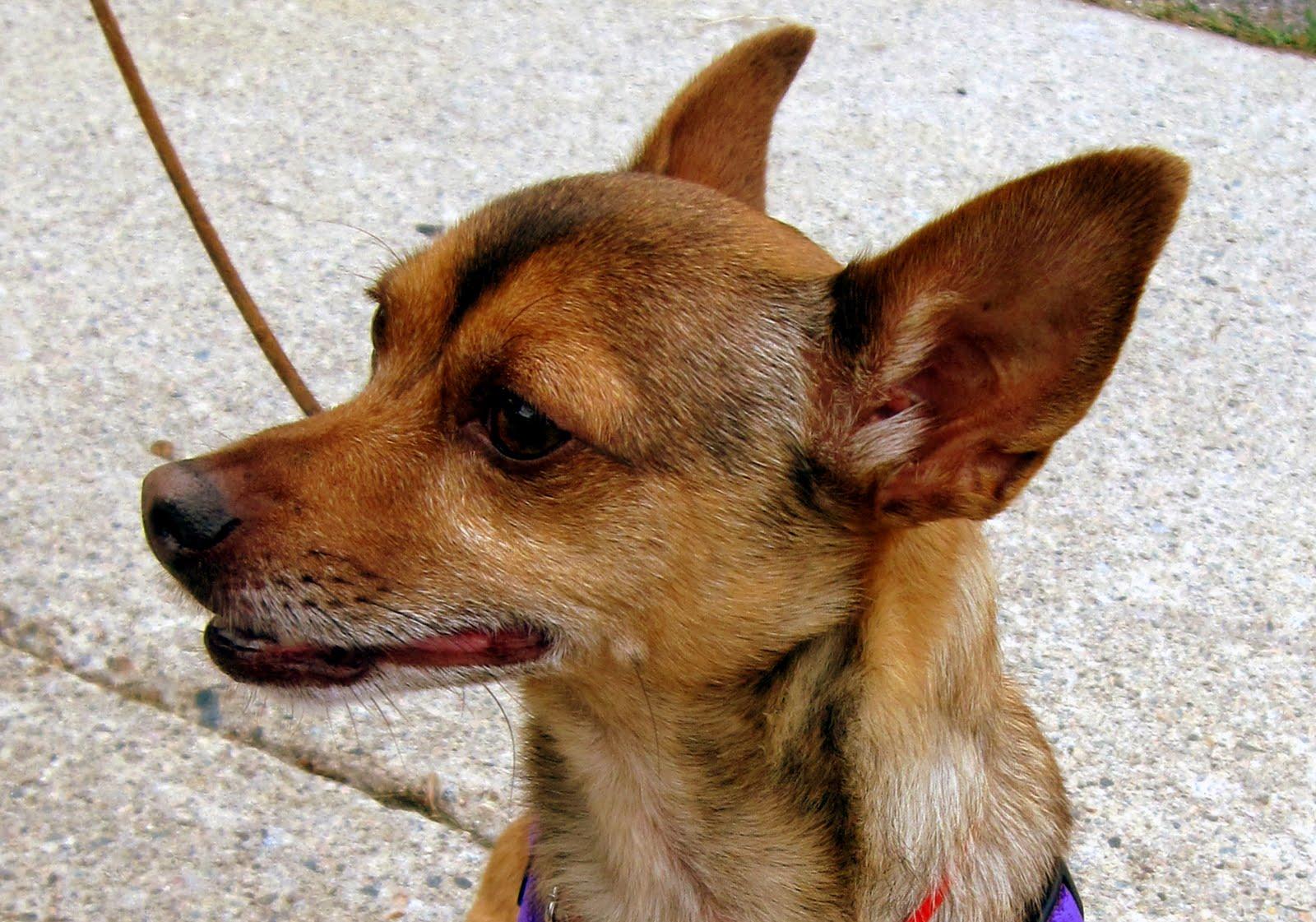 Zen Dog Training Blog: Sidney the Deer Chihuahua.