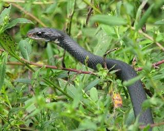 Racer Snakes