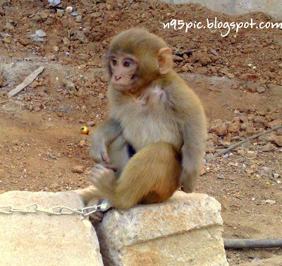 monkey,little monkey,monkey pictures,monkey picture in n95,n95 pictures