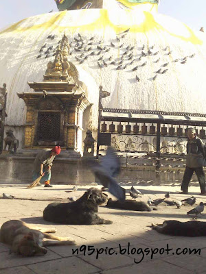 pigeons and dogs in swayambhu temple, Monkey temple of Nepal,dog in temple,animals in temple,Hindu and Buddhism together