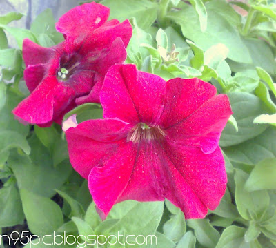red flower,flower for gift ,flower gift,garden flower,flower in my garden,flower in my house,