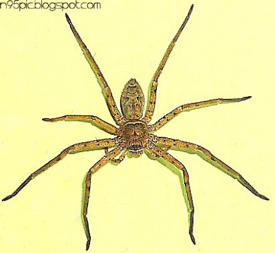 spider,wall spider,insect,pictures of spider,free spider picture,spider in Nepal,Nepali spider