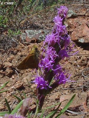 Hesperia leonardus montana on Liatris punctata
