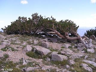 krummholz pine