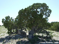 old-growth juniper
