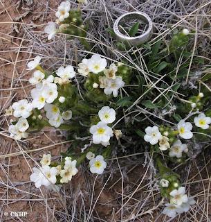 Cryptantha gypsophila