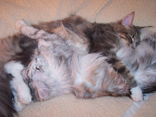 My Maine Coon cats Ronnie and Jasmine