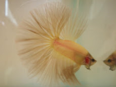 HM Yellow 2nd Winner - TAMAN MINI BETTA SHOW 2008