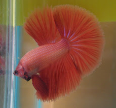 HM Red Orange 1st Winner BETTA UNITED ANNIVERSARY CONTEST 2008