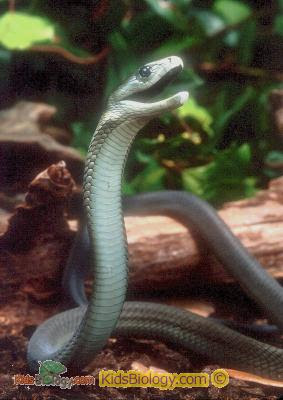 National Geographics: black mamba snake