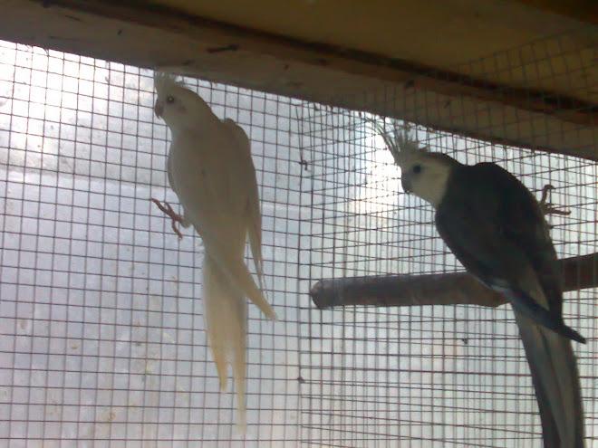 casal reprodutor caturras face branca macho cinzento x fêmea albina