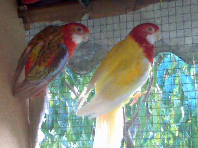 casal roselas macho lutino x fêmea pastel