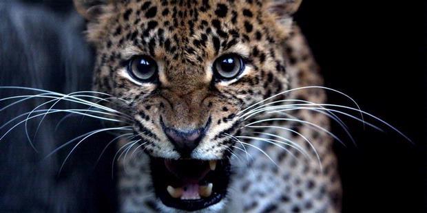 Tiger Merapi