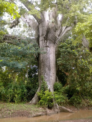 mapou tree