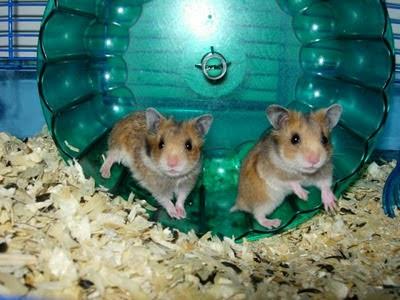 Hamsters Hams_08