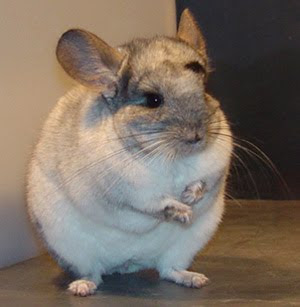 Chinchillas Chin_01