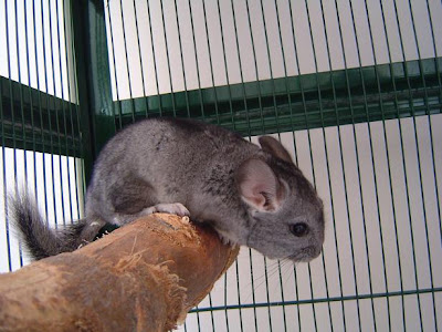 Chinchillas Chin_04