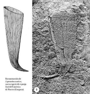 Esponjas Fósiles Fosil_07