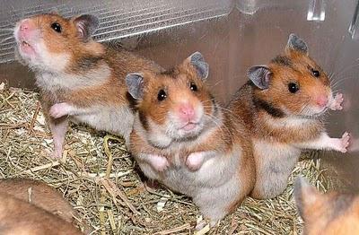 Portal de las Mascotas Hamsters-710247