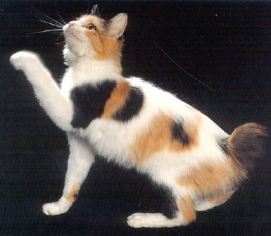 Razas de Gatos Rgat_07