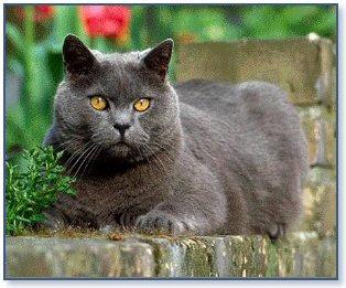 Razas de Gatos Rgat_11
