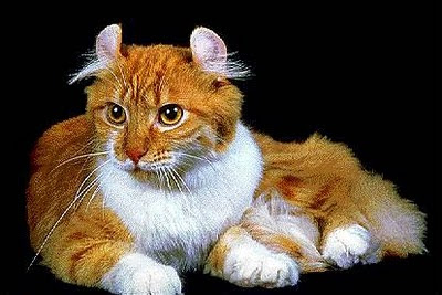 Razas de Gatos Rgat_16
