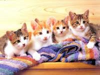 Sanidad del gatito Gatos3colores