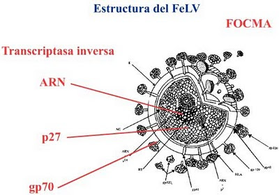 Sanidad del gatito Virus_felv