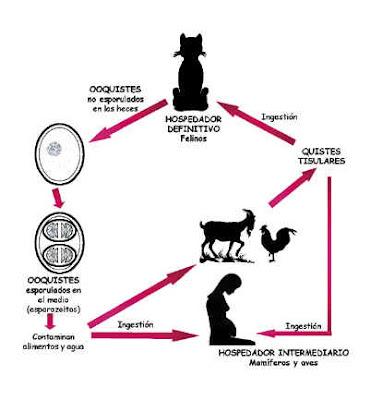 Sanidad del gatito Gato_toxo3