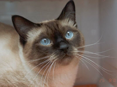 Sanidad del gatito Gato_99_peritonitis