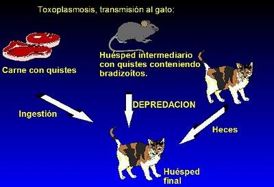 Sanidad del gatito Gato_Toxo1