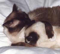 Sanidad del gatito Otodec5