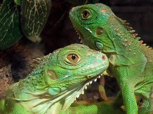 Reptiles como mascotas Prep_01