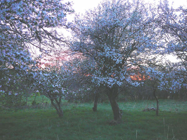 Sunset in the orchard