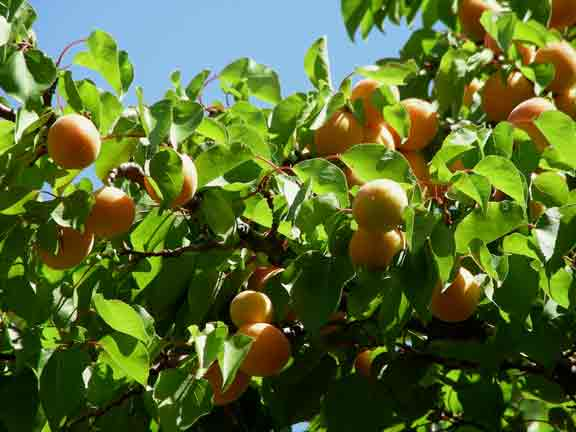 Apricots ready for harvest
