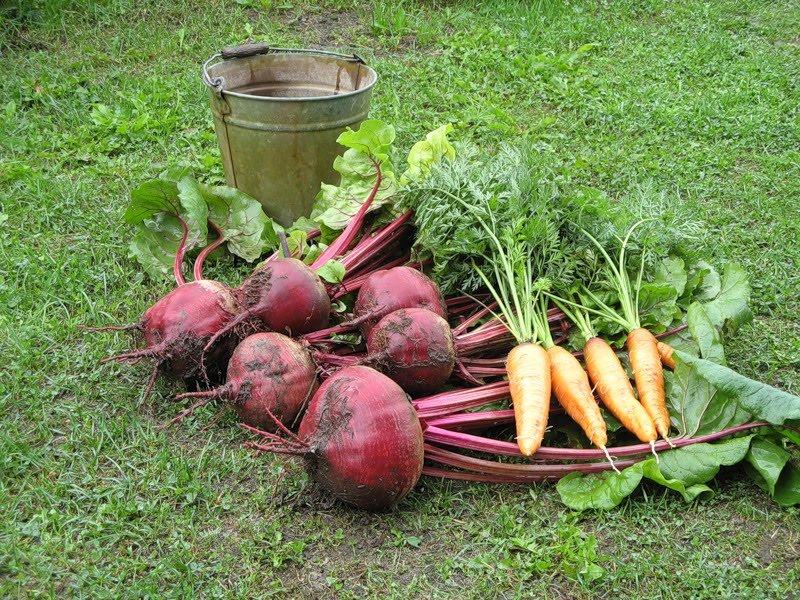Когда выкапывать морковь и свеклу