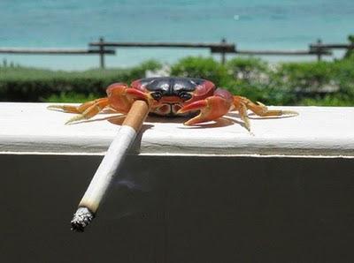 kepiting perokok