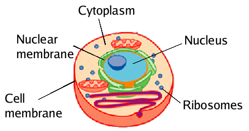 An animal cell. Purpose: The purpose of this projectis to make a 3D model of