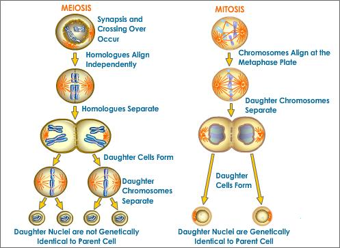 Honduras y mucho ms mitosis meiosis summary of the phases of meiosis what is meiosis meiosis produces daughter cells that have one half the number of chromosomes as the parent cell ccuart Choice Image