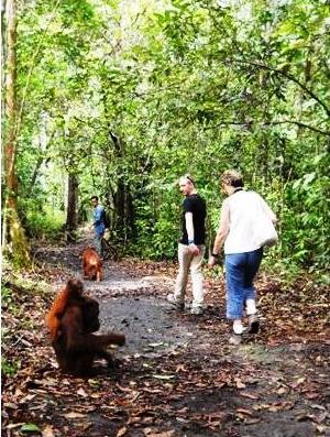 Walk away orangutan the real actor of tanjung puting - Apa itu walk in closet ...