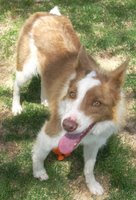"Dogs Available for Adoption <a href=""http://www.wbcrescue.org/index.php/"">Western BC Rescue</a>"